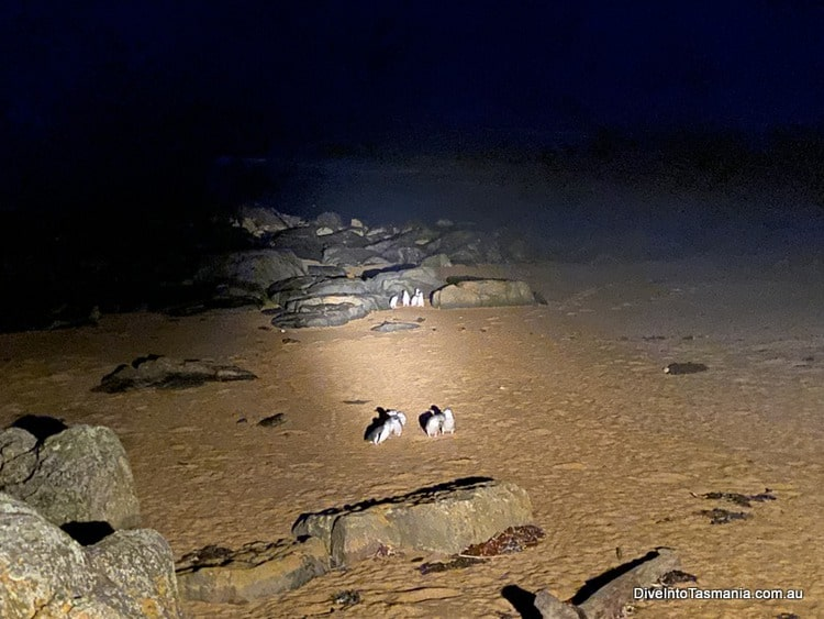 Low Head Penguin Tours on the beach