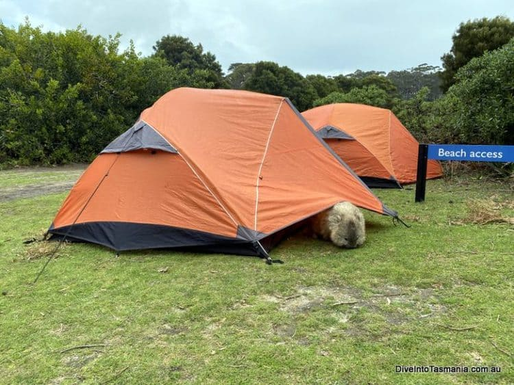 Maria island camping with a wombat
