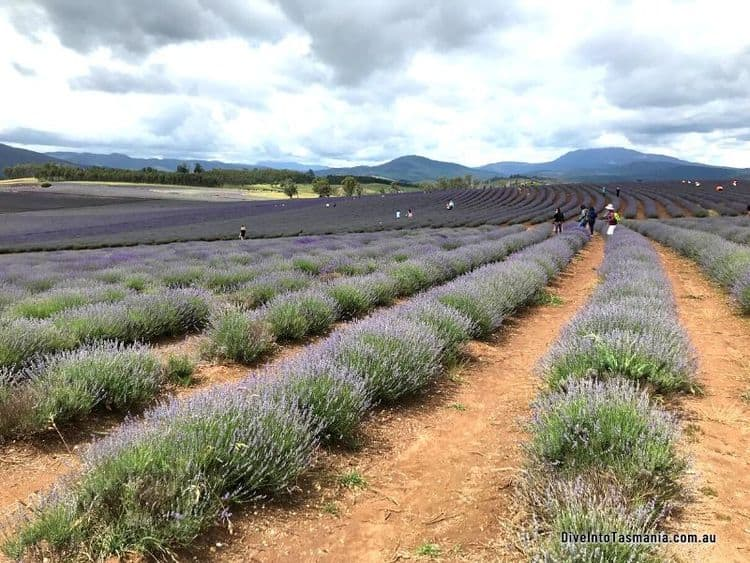 Bridestowe Lavender Estate Tamar
