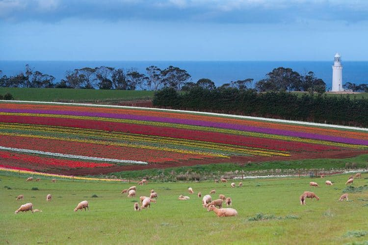 Tulip Fields At Table Cape