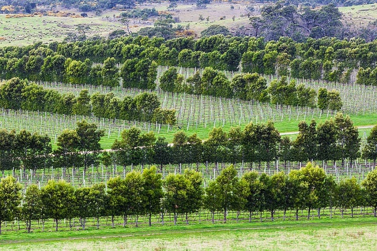 Vine rows in Devil's Corner winery Apslawn Tasmania